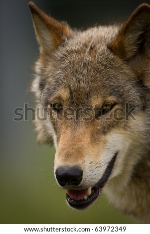 Closeup of the head of a European Wolf looking towards the viewer - stock photo