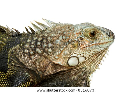 Closeup of the head of an iguana - isolated. - stock photo