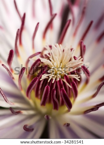 closeup of the heart of a clematis flower - stock photo