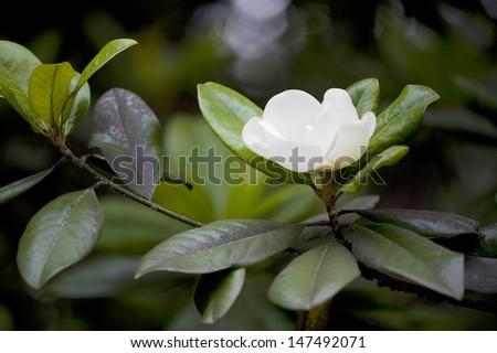 closeup of the magnolia grandiflora - stock photo
