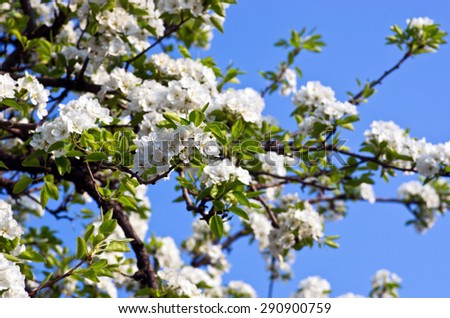 closeup of the pear blossom in spring - stock photo