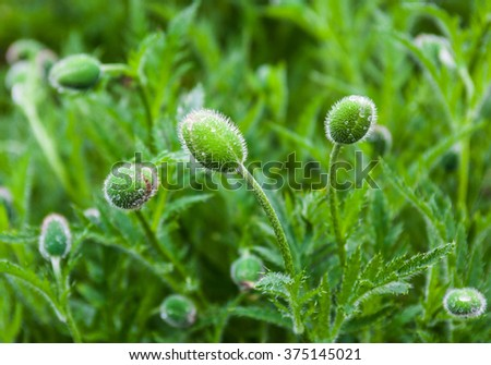 Closeup of the poppy buds with drops of dew. - stock photo