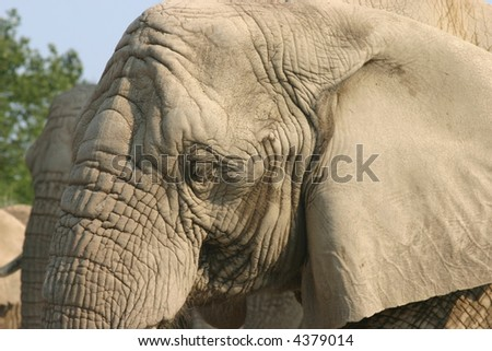 Closeup of the side of an elephant's head