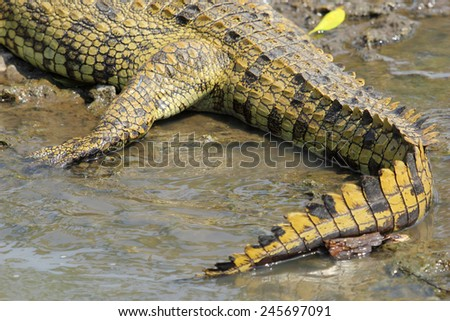 Closeup of the tail of a young Nile Crocodile, Crocodylus niloticus, resting near a river in Serengeti National Park, Tanzania - stock photo