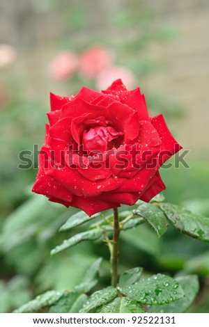 Closeup of the wet red rose in the garden - stock photo