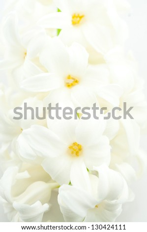 closeup of  the white hyacinth