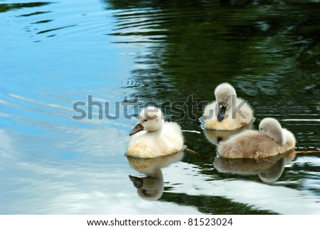 closeup of three baby swans in pond with reflections - stock photo