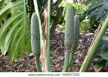 closeup of three big fruits of a fruit salad plant monstera deliciosa picture