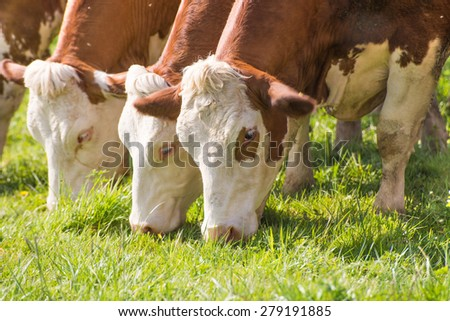 Closeup of three white brown cows eating grass on a sumner green meadow
