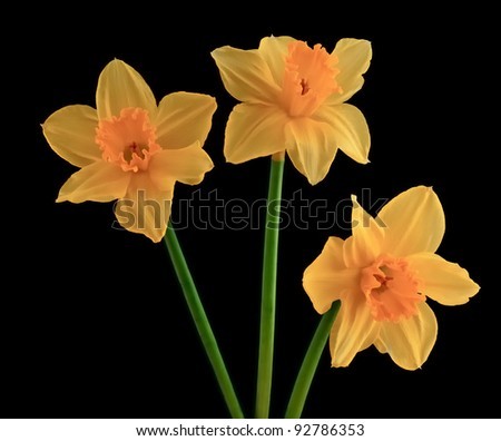 Closeup of three yellow flowering narcissus against a black background. - stock photo