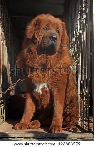 closeup of tibetan mastiff, north china - stock photo