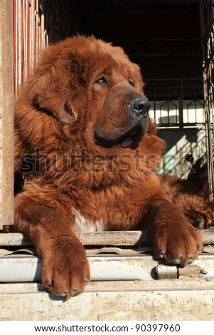 closeup of tibetan mastiff, north china