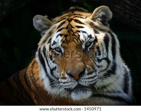 Closeup of tiger - stock photo