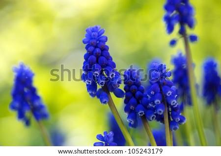 Closeup of tiny little Grape Hyacinth flowers - stock photo