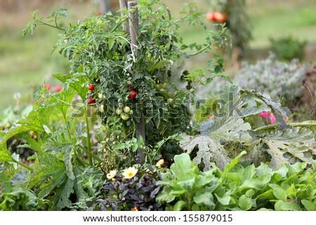 Closeup of tomatoes in kitchen garden - stock photo
