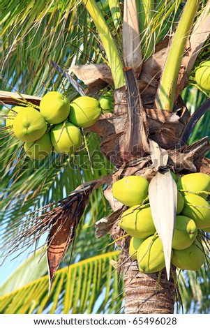 closeup of tropical coconut