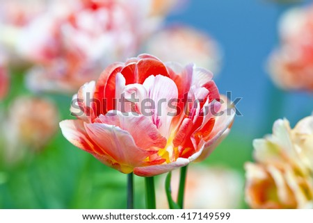 Closeup of Tulip Flower at Blossom in Spring - stock photo