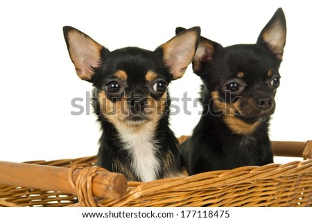 closeup of two adult chihuahua dog sitting in a basket - stock photo