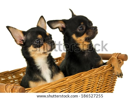 closeup of two adult chihuahua dog sitting in a basket isolated - stock photo