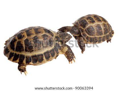 closeup of two Asian tortoises in front of each other isolated on white