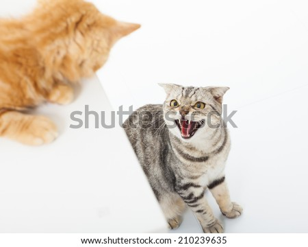 closeup of two cats in a conflict over  white background - stock photo