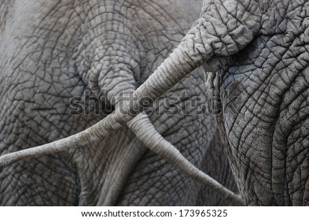 closeup of two elephants swinging their tails