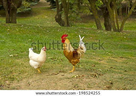 Closeup of two hen in a farmyard (Gallus gallus domesticus) - stock photo