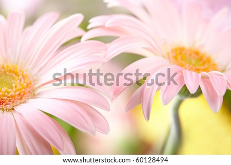 Closeup of two pink daisy-gerbera. Shallow DOF - stock photo