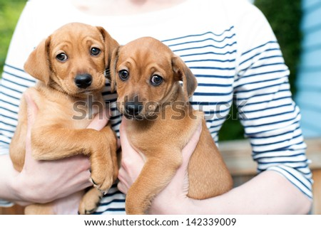 Closeup of Two Puppies Being Held in Hands by Woman - stock photo