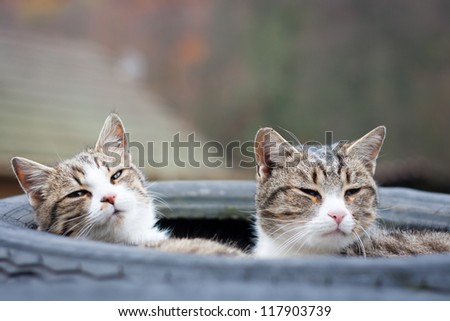 Closeup of two tabby cats sleeping in their tyre nest - stock photo