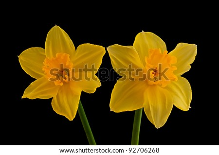 Closeup of two yellow flowering narcissus from the Netherlands against a black background. - stock photo