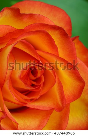Closeup of variegated orange and yellow rose background - stock photo