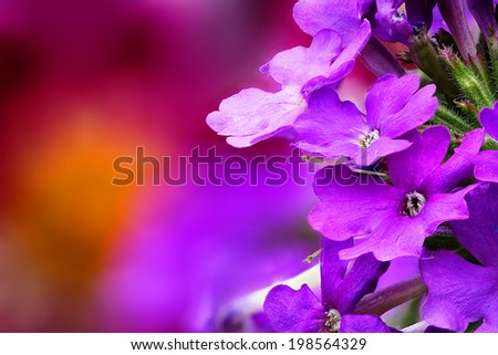 Closeup of Verbena (Verbenaceae) with beautiful colored background - stock photo