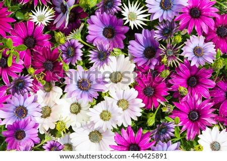 Closeup of vibrant blossoms of daisybushes or osteospermum. - stock photo