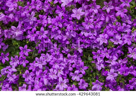 Closeup of vibrant lilac blossoms of the campanula or bellflower plant.