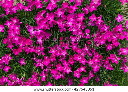 Closeup of vibrant pink blossoms of the carnation or dianthus plant.