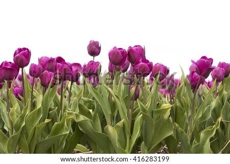 closeup of vibrant purple tulips in flower field in the netherlands - stock photo