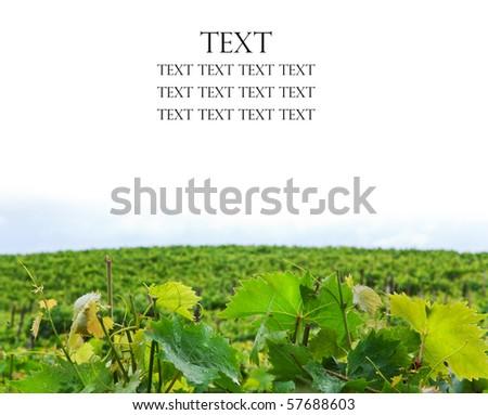Closeup of vineyards over white - stock photo