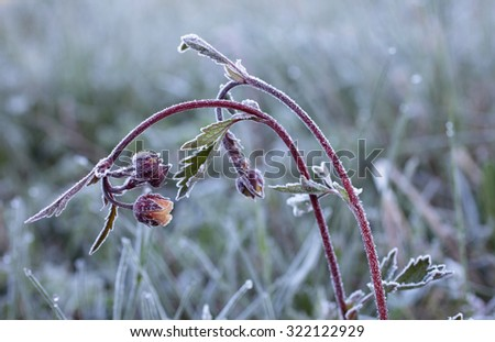 Closeup of water avens flowers at early morning after night frost. Photographed in Estonia, Europe. - stock photo