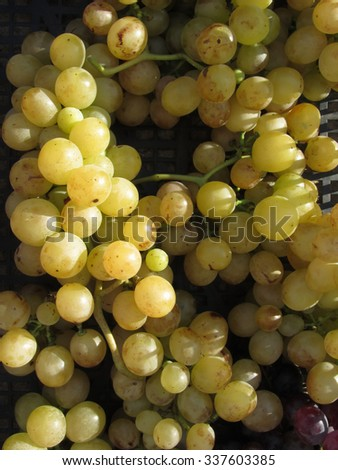 Closeup of white and red grapes in black plastic box, hand picked just as they ripen from the garden in a Tuscan farm - stock photo