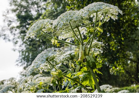 Closeup of white blooming Giant Hogweed or Heracleum mantegazzianum plants in their natural habitat.