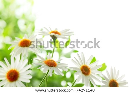 Closeup of white daisy flowers,Shallow Dof. - stock photo