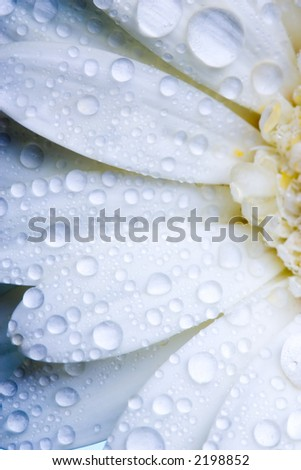 Closeup of white daisy with water droplets - stock photo