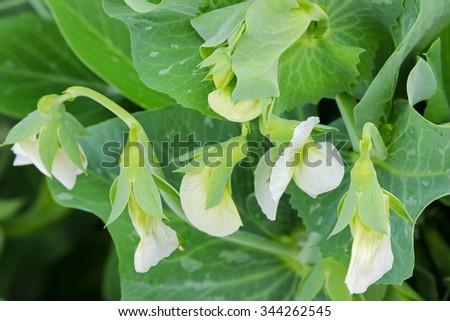 Closeup of white flowers of homegrown sweet Green Peas  - stock photo