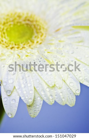 Closeup of white gerbera with water droplets - stock photo