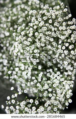 Closeup of white Gypsophila flower  - stock photo