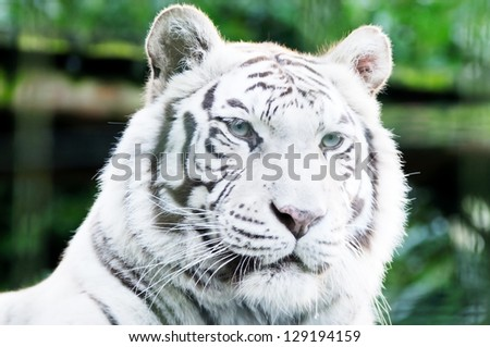 Closeup of white lion head looking alert with fur detail - stock photo