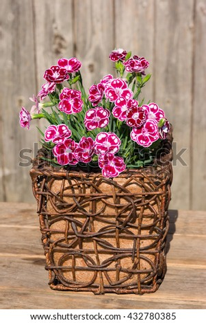 Closeup of white spotted pink gillyflowers or sweet williams in a wooden flower pot for rustic table decoration. - stock photo