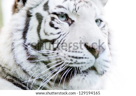 Closeup of white tiger with fur detail and stripes - stock photo