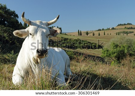 closeup of white tuscan cow on pasture with hills on the backgrounds, Italy, Europe - stock photo